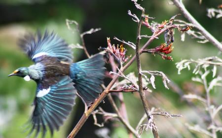 Tui in flight Wellington Botanic Gardens by Susanne Knibbeler Interislander2